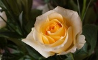 Tendre rose jaune
